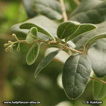 Boldo (Peumus boldus), Blätter