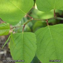 Japanischer Staudenknöterich (Reynoutria japonica). Blattform: Die Blätter sind am Grund gestutzt.
