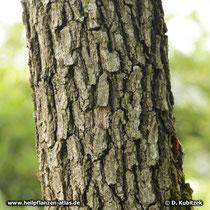 Borke am Stamm einer Flaum-Eiche (Quercus pubescens).