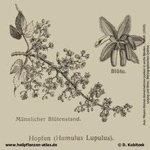 Gewöhnlicher Hopfen; Humulus lupulus; Historische Grafik