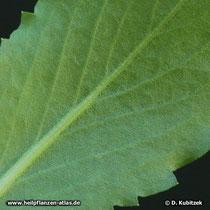 Kalifornisches Gummikraut, Grindelia robusta, Blatt Unterseite