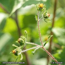 Siegesbeckie (Sigesbeckia orientalis), Blütenzweige