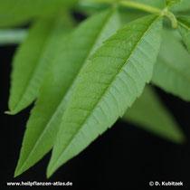 Zitronenverbene (Aloysia citriodora), Blatt
