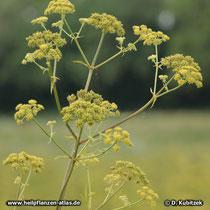 Liebstöckel (Levisticum officinale), Blüten- und Fruchtstand