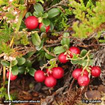 Preiselbeere (Vaccinium vitis-idaea), Beeren im Herbst (hier zusammen mit Heidekraut)