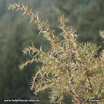 Gewöhnlicher Wacholder (Juniperus communis), Zweige
