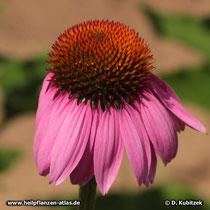 Purpurfarbener Sonnenhut (Echinacea purpurea), Blütenstand (Blütenkorb)
