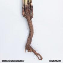 Blasser Sonnenhut (Echinacea pallida), Wurzel