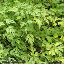 Chinesischer Liebstöckel (Ligusticum sinense)