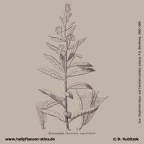 Schmalblättriges Weidenröschen, Epilobium angustifolium, Historisches Bild