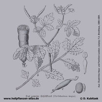 Schöllkraut, Chelidonium majus