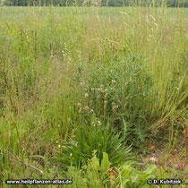 Spitz-Wegerich (Plantago lanceolata), Standort im Gras