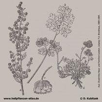Wermut (Artemisa absinthium), historische Grafik