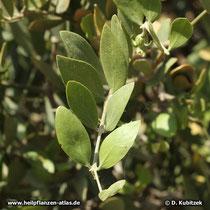 Zweig, Jojobastrauch, Simmondsia chinensis
