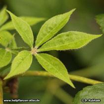 Taigawurzel (Eleutherococcus senticosus), junges Blatt mit Stacheln