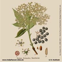 Holunder, Sambucus nigra, Historisches Bild