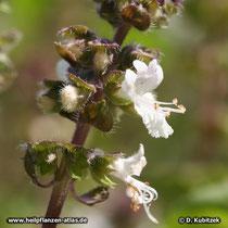 Basilikum (Ocimum basilicum), Blüten