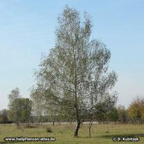 Gewöhnliche Birke (Betula pendula), Standort