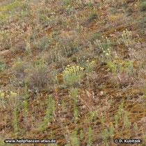 Sand-Strohblume (Helichrysum arenarium), Standort hier: Binnendüne