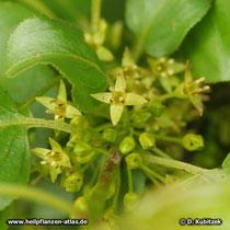 Purgier-Kreuzdorn (Rhamnus catharticus), Blüten und Blütenknospen