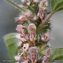 Echtes Herzgespann (Leonurus cardiaca) Blüten