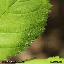 Brombeere (Rubus fruticosus), Blatt Oberseite