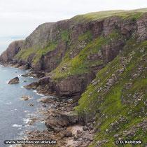 Rosenwurz (Rhodiola rosea), Standort: Rosenwurz kommt in arktisch-kühlen bis gemäßigten Regionen der Nordhalbkugel vor, zum Beispiel an dieser Küste der Northwest Highlands von Schottland.