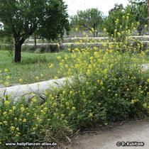 Weißer Senf (Sinapis alba), Standort, hier verwildert am Wegrand auf Mallorca
