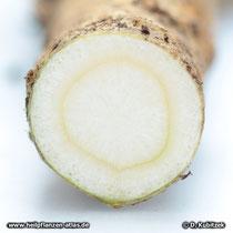 Ginsengwurzel im Querschnitt (Panax ginseng)