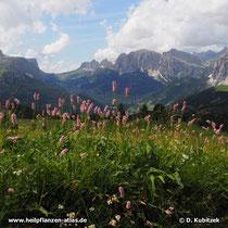 Schlangenwiesen-Knöterich (Persicaria bistorta) wächst hier in den Dolomiten (Italien) auf rund 2.100 m Höhe.