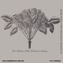 Blumen-Esche, Fraxinus ornus