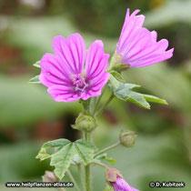 Wilde Malve (Malva sylvestris), Blüten