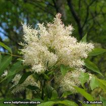 Blumen-Esche Blütenstand