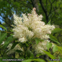 Blumen-Esche (Fraxinus ornus), Blütenstand