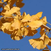 Ginkgobaum (Ginkgo biloba), gelbe Blattfärbung im Herbst