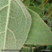 Kleinblütige Königskerze (Verbascum thapsus) ,Blatt Oberseite und Unterseite