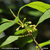 Amerikanischer Faulbaum (Rhamnus purshiana), Büten