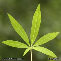 Mönchspfeffer (Vitex agnus-castus) Blatt