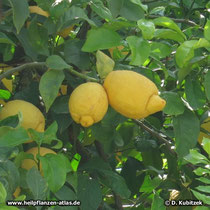 Zitrone (Citrus limon), reife Früchte