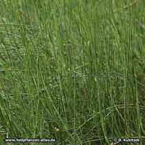 Mittleres Meerträubel (Ephedra intermedia) Wuchsform