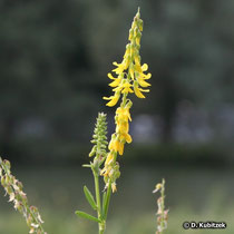 Echter Steinklee (Melilotus officinalis), Blütenstand