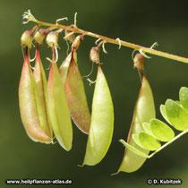 Chinesischer Tragant (Astragalus mongholicus), Früchte (Schoten)