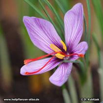 Echter Safran (Crocus sativus), Blüte