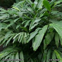 Kardamom (Malabar-Kardamome, Elettaria cardamomum)