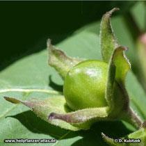 Tollkirsche (Atropa belladonna), unreife Frucht