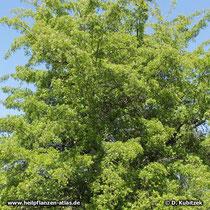 Fünfgriffeliger Weißdorn (Crataegus pentagyna), Strauch
