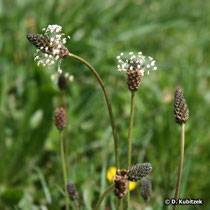 Spitz-Wegerich Blüten