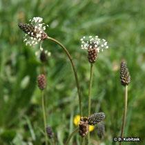 Spitz-Wegerich (Plantago lanceolata), Blüten