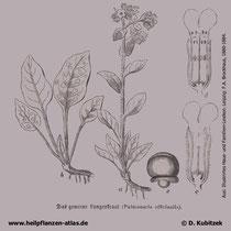 Echtes Lungenkrat, Pulmonaria officinalis, Historisches Bild