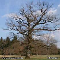 Knorriger, unregelmäßiger Wuchs einer alten Stiel-Eiche (Quercus robur).